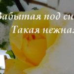 Фотозарисовки: Розы в снегу