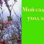 Мой сад: уход за персиком в марте