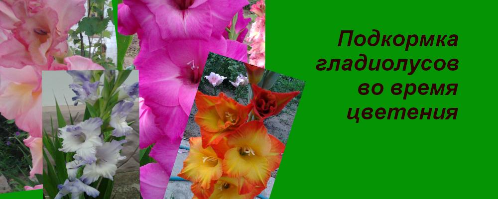Мой сад: чем подкормить цветущие гладиолусы