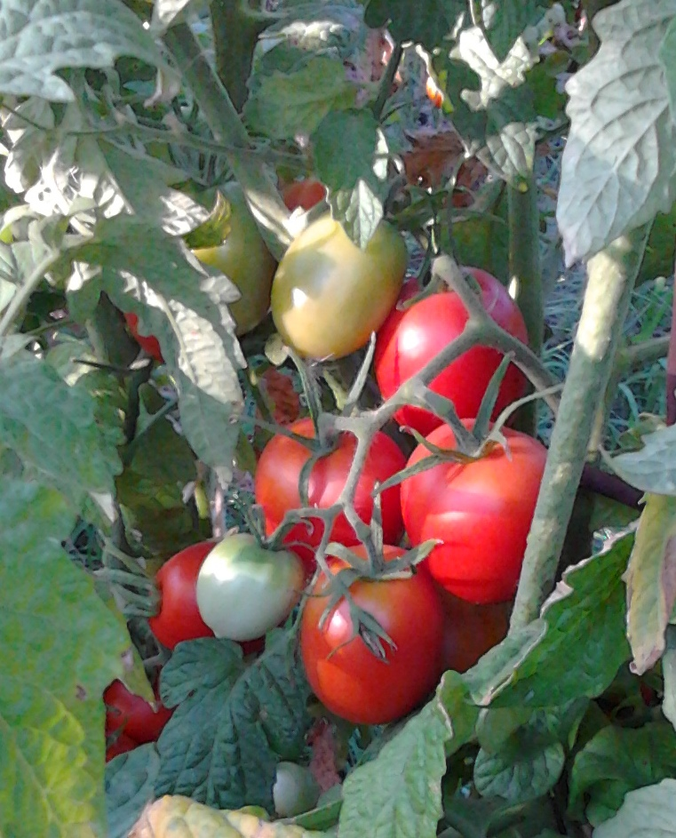 сорт помидор линда